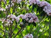 Mountain Laurel grows wild on the mountain tops. It is Pennsylvania's state flower.