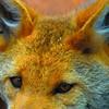Grey Fox