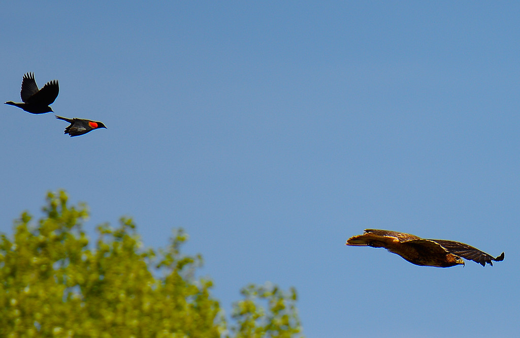 Red-tailed Hawk & Red-winged Blackbird