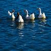 Graylag Goose & White Pekin Ducks