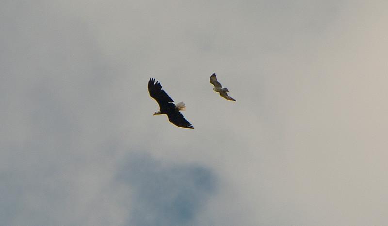 Bald Eagle and  Hawk