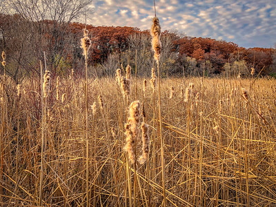 Molting Cattails in late fall. November 2018. Minnesota.
