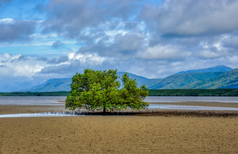 Solitary tree in middle the mud flats at low tide, Daintree region of Australia. The spikes sticking up out of the mud are tree roots.