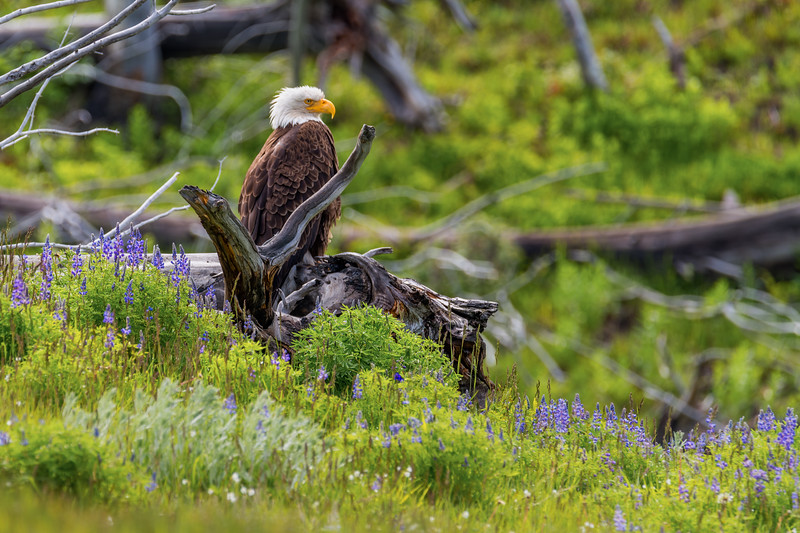 Eagle and Bluebonnets In Yellowstone #2