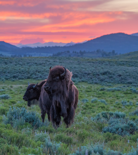 Bison at Sunset
