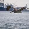 Gliding Pelican