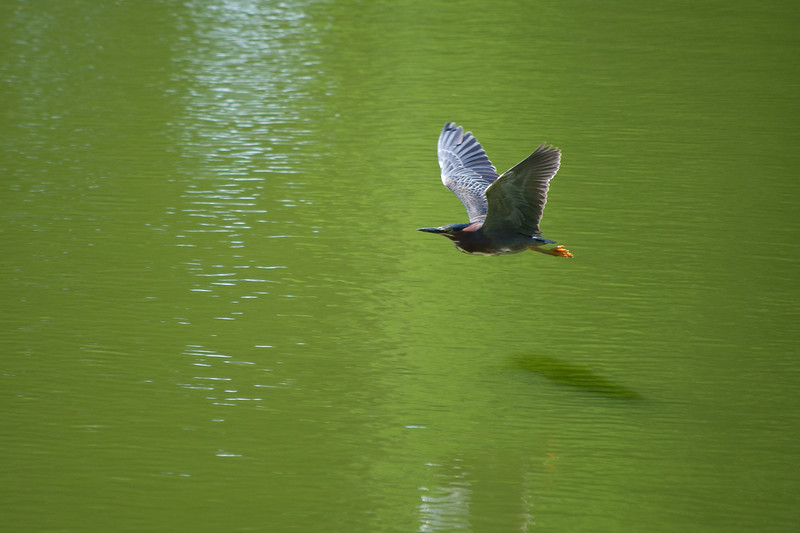 Green Heron In Mid Air