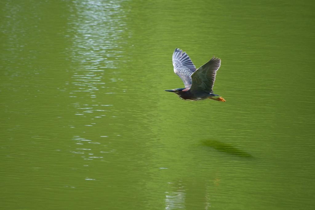 Green Heron In Mid Air