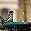 Blue Sparrows
