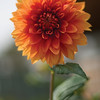 Beautiful Dalia Flower