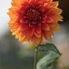 Beautiful Dalia Flower