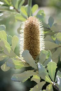 Australian Banksia Flower