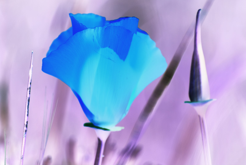 California Poppy-Inverted(