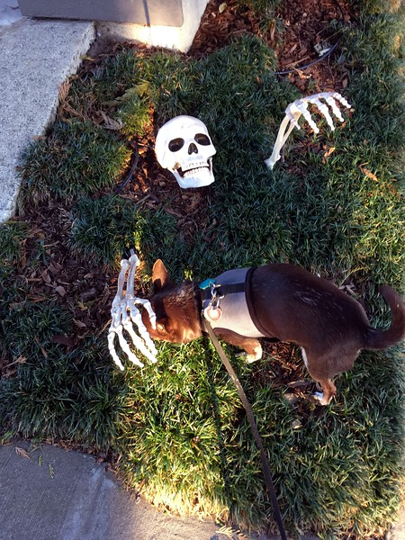 Skeleton Petting Chihuahua