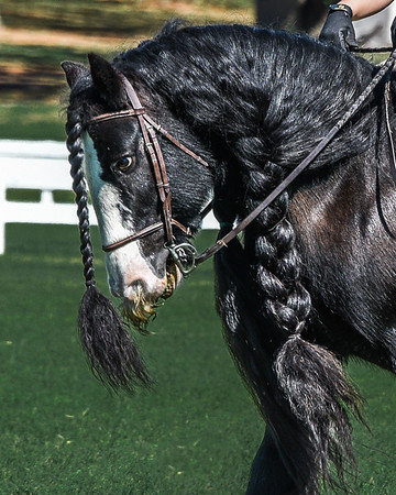 Gypsy Vanner Exhibition