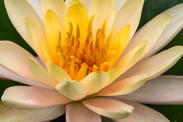 McKee Gardens  Water Lillies
