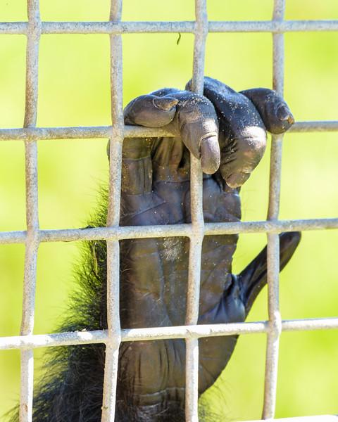 Save The Chimps, Fort Pierce Florida 2015