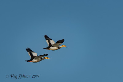 Radjah Shelducks in F light 3406