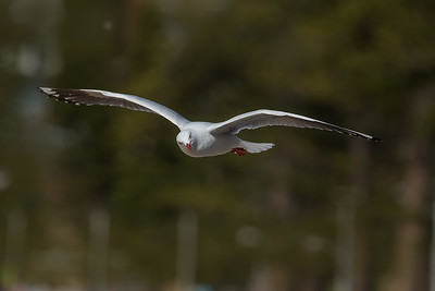 Silver Gull in flight 9106