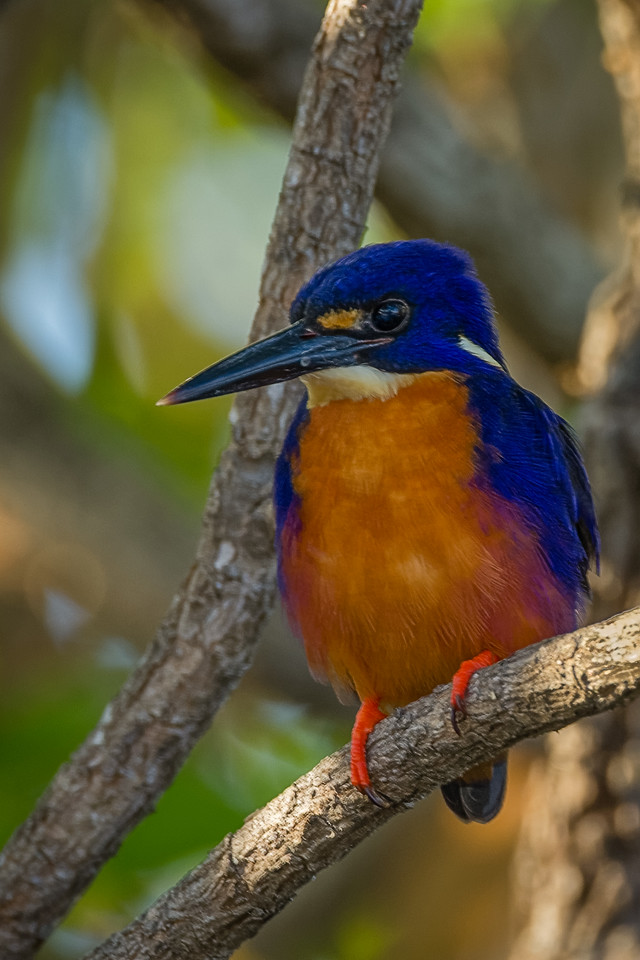 Azure Kingfisher 3184