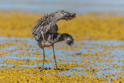 White-faced Heron Preening