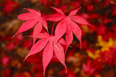 Autumn Foliage. Alliance Redwoods Conference Ground - Occidental, CA, USA