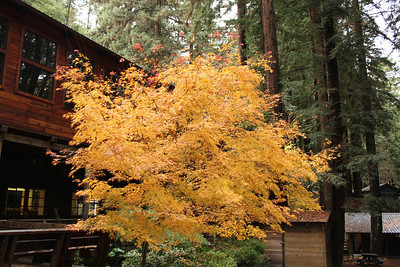 Autumn Foliage. Alliance Redwoods Conference Ground - Occidental, CA, USA