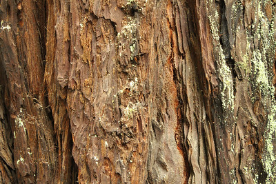 Coast Redwood (Sequoia sempervirens). Alliance Redwoods Conference Ground - Occidental, CA, USA