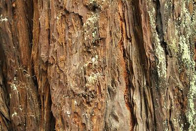 Coast Redwood (Sequoia sempervirens). Alliance Redwoods Conference Ground - Occidental, CA, USA