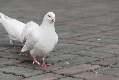 White Pigeon. People's's Square - Shanghai, China (上海,中国)