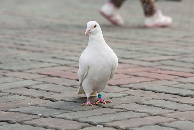 White Pigeon. People's's Square - Shanghai, China (上海,中国)