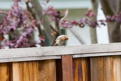 Male House Finch (Carpodacus mexicanus)