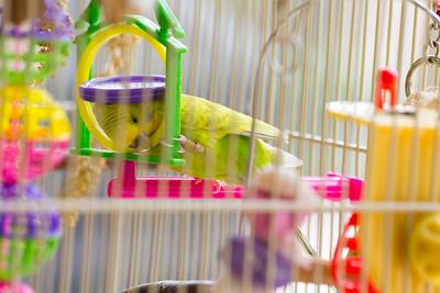 Parakeet Playing