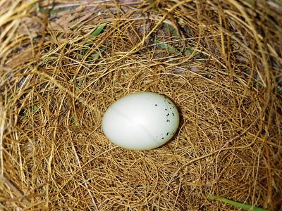House Finch (Carpodacus mexicanus) Nest and Egg.