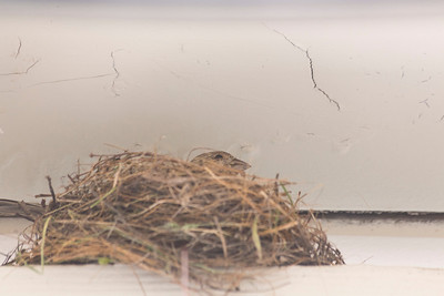 House Finch (Carpodacus mexicanus) and Nest.