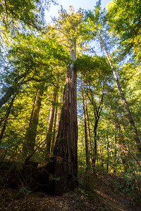 Coast Redwood (Sequoia sempervirens). Sky Meadow Road. Big Basin State Park, CA, USA