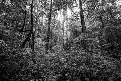 Coast Redwood (Sequoia sempervirens). Sky Meadow Road. Big Basin State Park - Boulder Creek, CA, USA