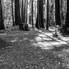 Coast Redwood (Sequoia sempervirens). Sequoia Trail. Big Basin State Park - Boulder Creek, CA, USA