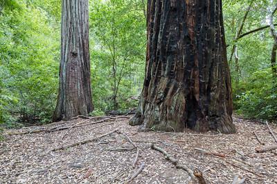 Coast Redwood (Sequoia sempervirens). Skyline-to-the-Sea Trail. Big Basin State Park - Boulder Creek, CA, USA