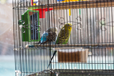 My Parakeets