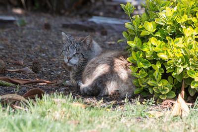 My neighbors cat sleeping on my lawn.