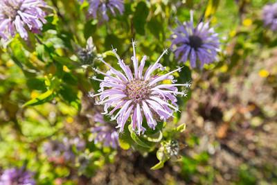Monarda. UBC Botanical Garden - Vancouver, BC, Canada