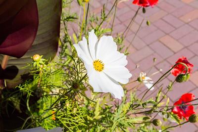 Garden Cosmos or Mexican Aster (Cosmos bipinnatus). UBC Botanical Garden - Vancouver, BC, Canada
