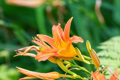 Orange Daylily (Hemerocallis fulva). UBC Botanical Garden - Vancouver, BC, Canada