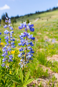 Broadleaf Lupine (Lupinus latifolius). Sunrise - Mount Rainier National Park - Washington, USA
