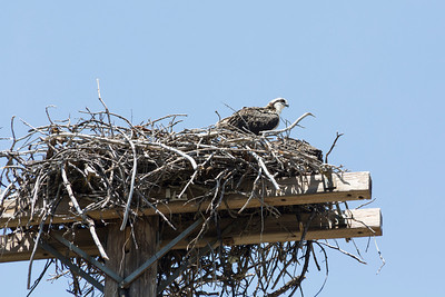 Osprey (Pandion haliaetus). Shasta Dam and Shasta Lake - Shasta Lake, CA, USA