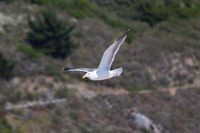 Seagull. Stinson Beach - Stinson Beach, CA
