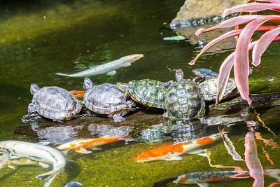 Red Eared Slider Turtle (Trachemys Scripta Elegans). Victoria Butterfly  Gardens   Central Saanich