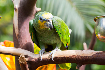Leo the Green Amazon Parrot. Victoria Butterfly Gardens - Central Saanich, BC, Canada