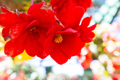 Tuberous Begonia. Sunken Garden. Butchart Gardens - Brentwood Bay, BC, Canada
